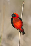 Red Bishop. Photographed sitting on a reed near Cape Town stock images