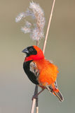 Red Bishop. Photographed sitting on a reed near Cape Town royalty free stock photo