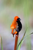 Red Bishop. In the Reeds stock photo