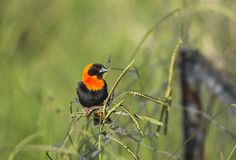 Red Bishop Amongst The Grasses Royalty Free Stock Images