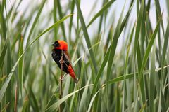 Red Bishop Bird Stock Photography