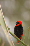 Red Bishop Bird. A bright red and black Red Bishop Bird ( Euplectes orix ) against a green background royalty free stock photography