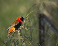 Red bishop bird on a fence Stock Photos