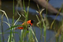 Red Bishop Bird On Grass With Seeds stock images