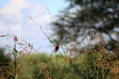 Red bishop birds Stock Photo