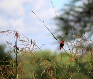 Red bishop birds Royalty Free Stock Photography