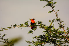 Red Bishop in a bush Stock Image