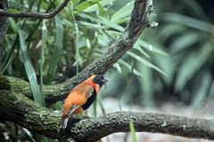 A red bishop. The red bishop is perched in a tree royalty free stock photo