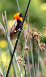 Red Bishop On A  Reed Stock Photo