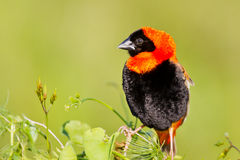 Red bishop sitting on grass Stock Photography