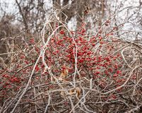 Red Bittersweet Berries in a Winter Forest. A tangled vine of brilliant red Bittersweet berries in a winter forest stock photo
