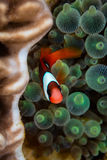 Red and Black Anemonefish Stock Images