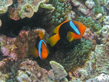 Red & Black Anemonefish, Great Barrier Reef, AU Royalty Free Stock Photography