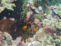 Red & Black Anemonefish, Great Barrier Reef, AU Stock Image