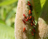 Red and black aphids Royalty Free Stock Images
