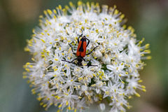 Red and black beatle insect on onion flower Stock Photo