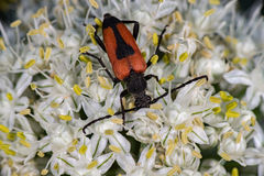 Red and black beatle insect on onion flower Royalty Free Stock Photos