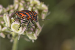 Red and black beatle insects Stock Images