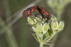 Red and black beatle insects Royalty Free Stock Photography