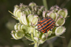 Red and black beatle insects Royalty Free Stock Photos