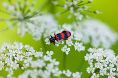 Red and black beetle on white blossom. Macro of checkered beetles(Trichodes apiarius) resting on white umbrellate inflorescence on meadow Stock Photo