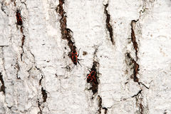 red-black beetle. Whitening the bark of the old cracked wood Stock Photos