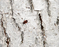 Red-black beetle. Whitening the bark of the old cracked wood. Bedbug-soldier on a tree trunk, red-black beetle. Whitening the bark of the old cracked wood for Royalty Free Stock Image