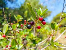 Red and black berries on the branch of the bush. Albufera of Valencia, Spain. Vegetarian, summer, ripe, diet, vegetable, sour, bright, isolated, plate, bowl stock photos
