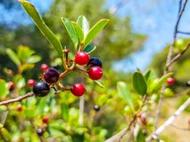 Red and black berries on the branch of the bush. Albufera of Valencia, Spain. Vegetarian, summer, ripe, diet, vegetable, sour, bright, isolated, plate, bowl stock photo