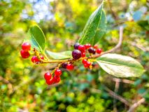 Red and black berries on the branch of the bush. Albufera of Valencia, Spain. Vegetarian, summer, ripe, diet, vegetable, sour, bright, isolated, plate, bowl royalty free stock photo