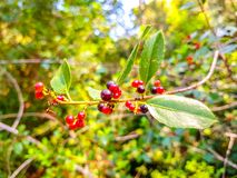 Red and black berries on the branch of the bush. Albufera of Valencia, Spain. Vegetarian, summer, ripe, diet, vegetable, sour, bright, isolated, plate, bowl royalty free stock image