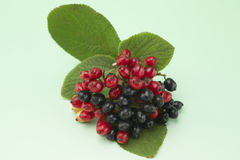 Red and black berries. On one branch on light green background Stock Images