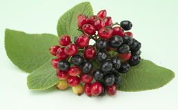 Red and black berries. On one branch on light green background Royalty Free Stock Photography