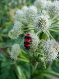 Big beetle sits on a white flower Royalty Free Stock Photo