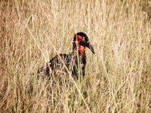 Red and Black Bird in the Middle of Grass royalty free stock image