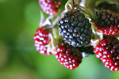 Red and black blackberries Royalty Free Stock Images