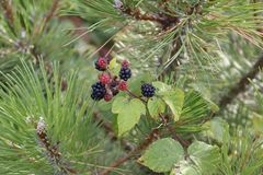 Red and black blackberries, fused to a pine tree stock images