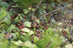 Red and black blackberries, fused to a pine tree royalty free stock photo