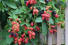Black and red blackberries on a bush. Red and black blackberries hanging over a wooden fence in summer stock images