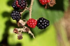 Red and black blackberry fruits. Stock Images