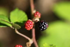 Red and black blackberry fruits. Royalty Free Stock Photos