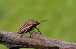 Red - black bug sits on a branch. Stock Images
