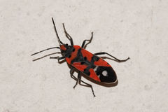 Red and black bug on the wall Royalty Free Stock Image