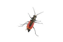 Red black bug on a white background Royalty Free Stock Photos
