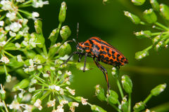 Red and black bug Royalty Free Stock Photos