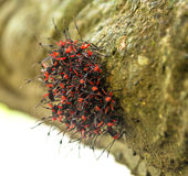 Red and Black Bugs. A colony of red and black insects gather close together as a defense mechanism Royalty Free Stock Photography