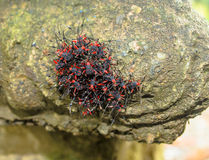 Red and Black Bugs. A colony of red and black insects gather close together and move as one making them look bigger, thus using their new size as a defense Stock Image