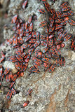 Red and black bugs Stock Photo