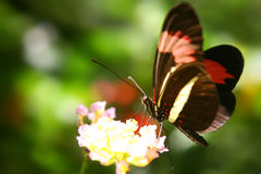 Red and black butterfly. On a flower Royalty Free Stock Images