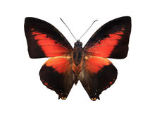 Red and black butterfly. Charaxes on white royalty free stock photography